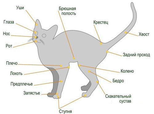 Анатомия и физиология кошки