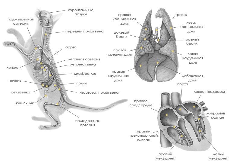 Анатомические особенности кошек (внутренние органы).