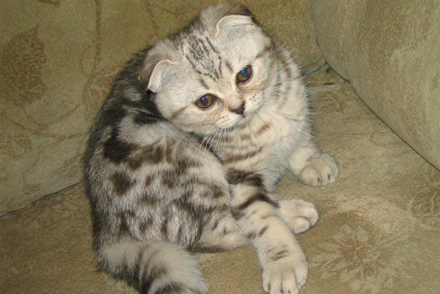 Шотландская вислоухая кошка по кличке