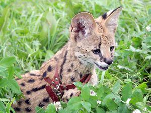 Уникальная кошка за 12 тысяч долларов