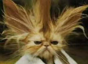 Коты породы смешные