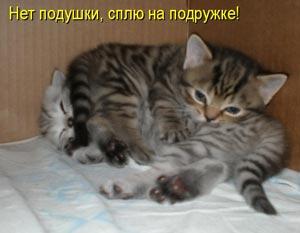 британских вислоухих котов фото